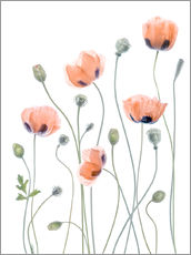 Gallery print  Poppy poetry - Mandy Disher