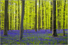 Wall Stickers  Bluebell flowers in early spring - Jason Langley