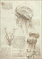 Wall sticker  Brain and skull - Leonardo da Vinci