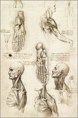 Gallery print  Neck muscles and bones of the foot - Leonardo da Vinci