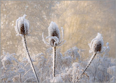 Gallery Print  Hoar frost on a teasel in wintertime - Katho Menden