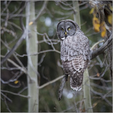 Gallery print  Owl in the forest - Thomas Klinder