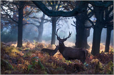 Gallery print  A red deer stag in a misty forest in Richmond park, London. - Alex Saberi