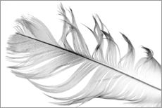 Wall sticker  Feather