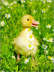 Gallery print  Duckling on flowery meadow