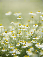 Wall sticker  Real chamomile, medicinal plant - Herbert Kehrer