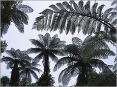 Gallery print  A roof of tree ferns - Thonig