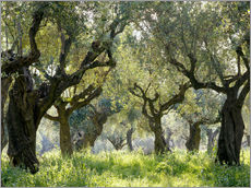 Gallery Print  Olive grove - Thonig