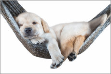 Wall Sticker  Labrador puppy in hammock - Beate Margraf