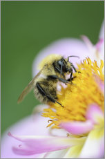 Gallery print  Honeybee on a dahlia - Andreas Keil