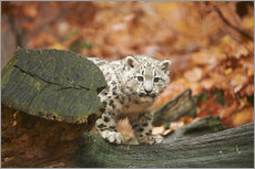 Gallery print  Snow leopard in the forest - David & Micha Sheldon