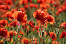 Gallery print  Poppy field - Catharina Lux