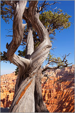 Wall sticker  Pine in Bryce Canyon National Park, United States - Catharina Lux