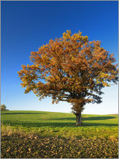 Wall sticker  Lonely oak tree in autumn - Andreas Vitting