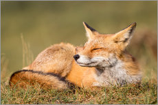 Gallery print  Red Fox - Single image - Sebastian Jakob
