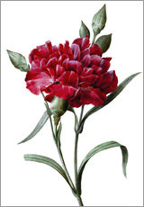 Wall sticker  A Dark Red Carnation - Pierre Joseph Redouté