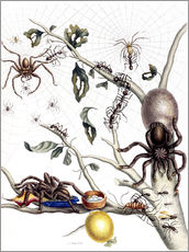 Wall sticker  Various Arachnids from South America - Maria Sibylla Merian