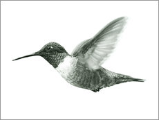 Gallery Print  Ruby Throated Hummingbird Sketch - Ashley Verkamp