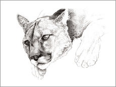 Gallery print  Sketch Of A Captived Mountain Lion - Ashley Verkamp
