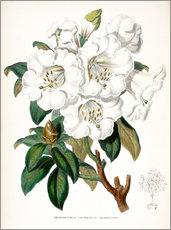 Wall Sticker  Rhododendron Countess of Haddington - Miss Sowerby