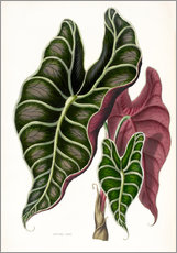 Gallery print  Alocasia Lowii - Miss Sowerby