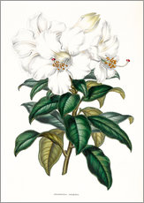 Wall sticker  Rhododendron calophyllum - Sowerby Collection