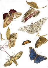 Wall sticker  Moths and butterfiles - Maria Sibylla Merian