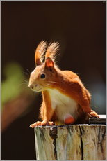 Gallery print  Red squirrel with hazelnut - Uwe Fuchs