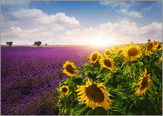 Gallery print  Lavender and sunflowers fields , Provence - Elena Schweitzer