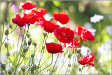 Gallery Print  Red poppies on a sunny day