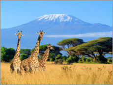 Wall Stickers  Three giraffes in front of Kilimanjaro