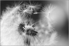 Gallery print  Flying seeds of the dandelion - Julia Delgado