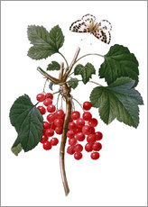 Wall Stickers  red currant - Pierre Joseph Redouté