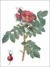 Wall sticker Kamtschatka Rose (Rosa Kamtschatica)