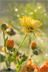 Gallery print  Yellow and orange flowers in the morning - Edith Albuschat