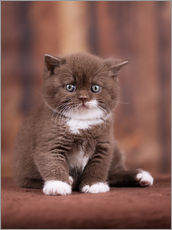 Gallery print  Teddy - British shorthair catbaby - Janina Bürger