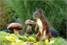 Gallery print  Squirrel on fodder search - Uwe Fuchs