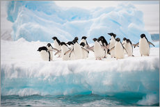 Gallery print  Adelie penguins on ice