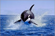 Gallery print  Jump of the orca - Gérard Lacz