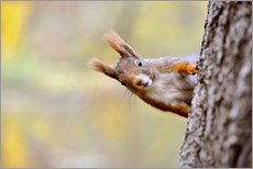 Gallery print  Red Squirrel in an urban park in autumne - imageBROKER
