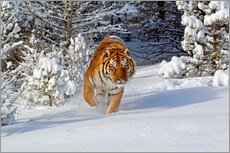 Wall sticker Siberian Tiger walking in snow