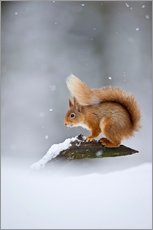 Gallery Print  Eurasian Red Squirrel standing on branch in snow - FLPA