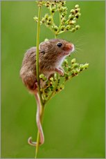 Wall Stickers  Harvest Mouse climbing Meadowsweet - FLPA