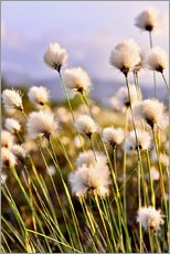 Wall sticker  Flowering Tussock Cottongrass - imageBROKER