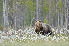 Gallery print  European Brown Bear, Finland - Alfred Trunk