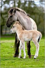 Wall sticker  Dülmen wild horse with foals - imageBROKER