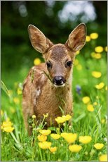 Gallery print  Roe Deer fawn in flower meadow, Normandy - Gérard Lacz