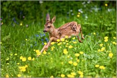 Gallery print  Roe Deer fawn running in flower meadow, Normandy - Gérard Lacz