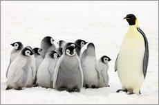 Gallery print  Emperor penguin with chicks - Keren Su