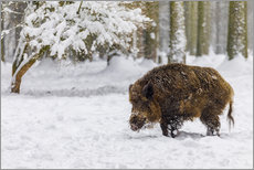 Gallery Print  Boar in the snow - Moqui, Daniela Beyer
